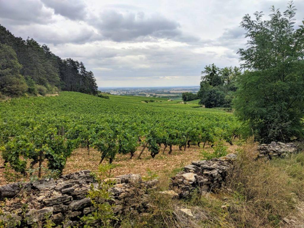 Burgundy Golden Slope Hill top