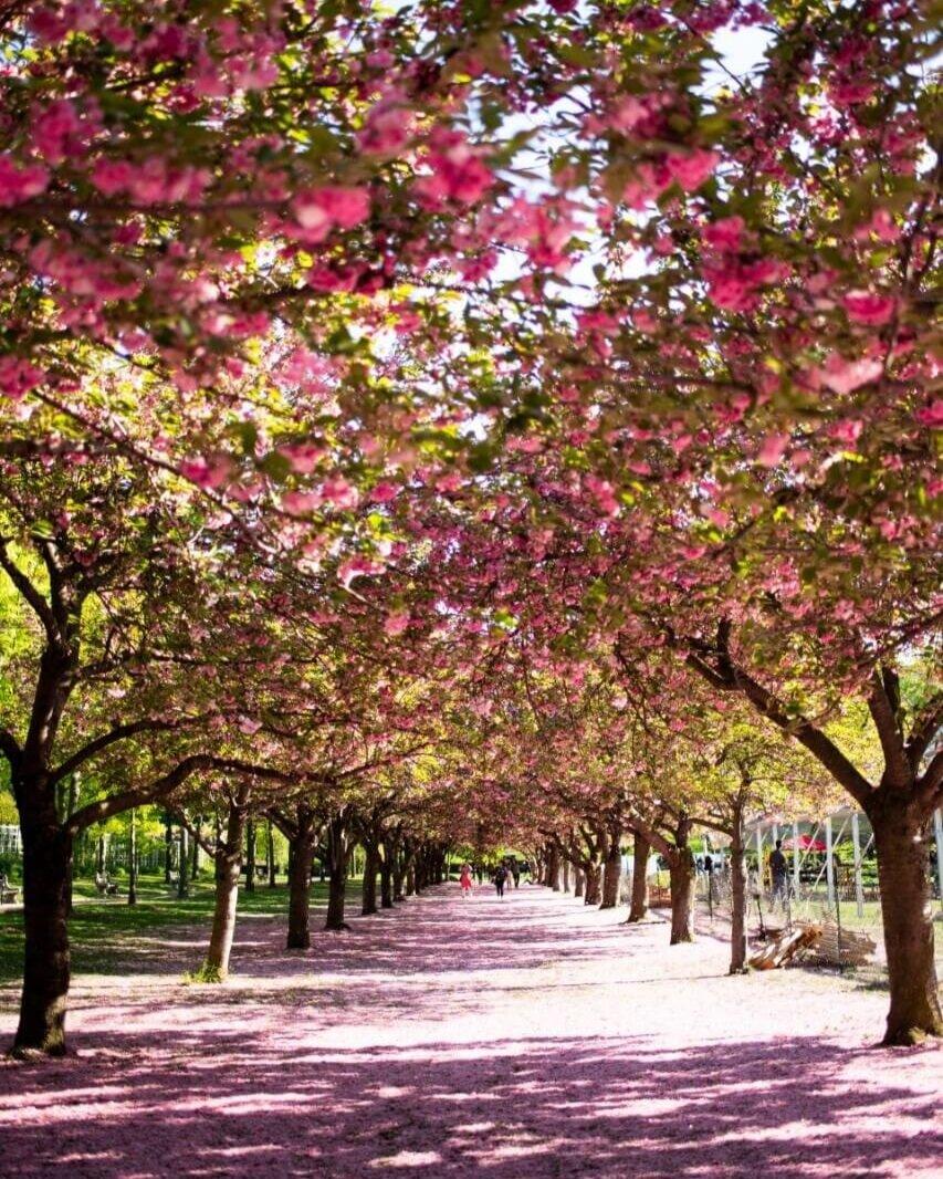 Cherry trees at Brooklyn Botanical Gardens.