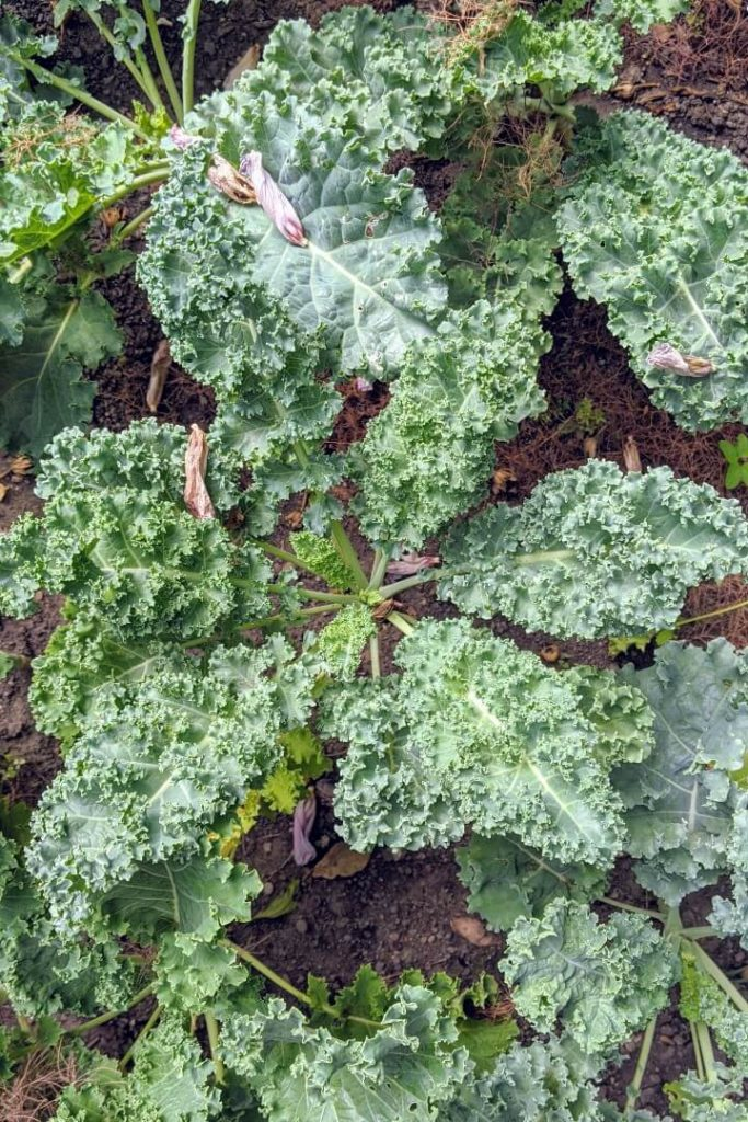 Health Benefits of Kale